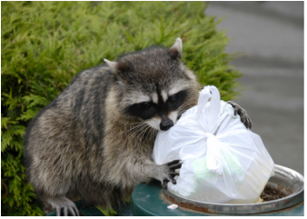 Raccoon Removal Rabies